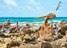 Pelicano do protetor Foto de Stock