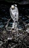Pelicano do sono Imagens de Stock