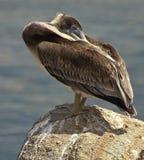 Pelicano do sono nas rochas Imagem de Stock Royalty Free