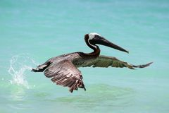 Pelicano do vôo Imagens de Stock Royalty Free