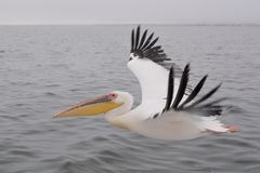Pelicano do vôo Imagem de Stock