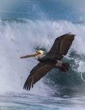 Pelicano do voo imagens de stock