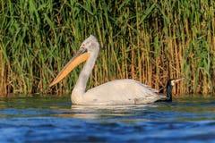 Pelicano e cormorant Dalmatian fotografia de stock royalty free