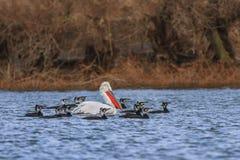 Pelicano e cormorants Dalmatian foto de stock royalty free