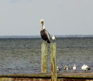 Pelicano e gaivota de mar Fotografia de Stock