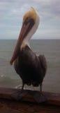 Pelicano em florida Foto de Stock Royalty Free