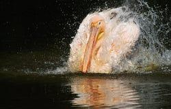 Pelicano em um banho Imagens de Stock Royalty Free