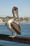 Pelicano em um cais Imagens de Stock