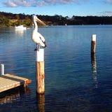 Pelicano em um cargo Fotografia de Stock Royalty Free