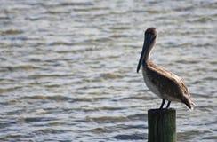 Pelicano em um cargo nas chaves de Florida Foto de Stock Royalty Free
