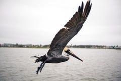 Pelicano em voo Fotos de Stock Royalty Free