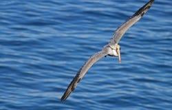 Pelicano em voo Foto de Stock