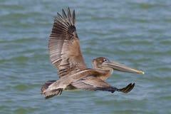 Pelicano em voo - St Petersburg de Brown, Florida Imagens de Stock