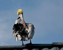 Pelicano empoleirado Imagem de Stock
