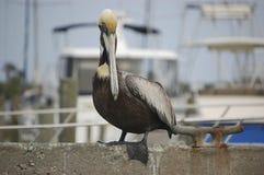 Pelicano empoleirado Imagem de Stock Royalty Free