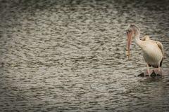 Pelicano faturado ponto com os dedos do pé palmados visíveis fotografia de stock