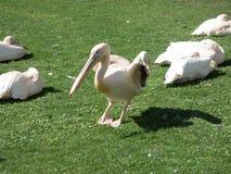 Pelicano grande branco que senta-se na grama verde foto de stock royalty free
