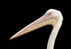 Pelicano isolado Imagens de Stock