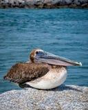 Pelicano Jupiter Inlet Atlantic Ocean Florida fotografia de stock royalty free