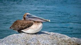Pelicano Jupiter Inlet Atlantic Ocean Florida imagem de stock royalty free