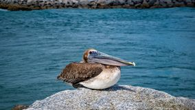 Pelicano Jupiter Inlet Atlantic Ocean Florida foto de stock royalty free