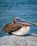 Pelicano Jupiter Inlet Atlantic Ocean Florida fotografia de stock