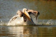 Pelicano juvenil que espirra a água Fotografia de Stock Royalty Free