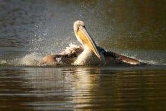 Pelicano juvenil que espirra a água Fotos de Stock Royalty Free