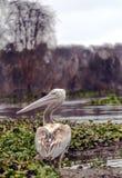 Pelicano Stock Photos