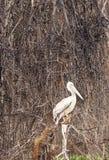Pelicano Royalty Free Stock Photo