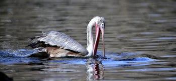 pelicano Manchar-faturado Imagem de Stock