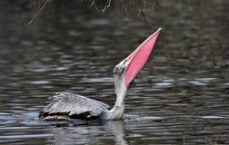 pelicano Manchar-faturado Imagem de Stock Royalty Free