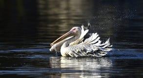 pelicano Manchar-faturado Imagens de Stock