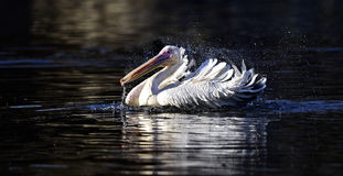 pelicano Manchar-faturado Fotografia de Stock
