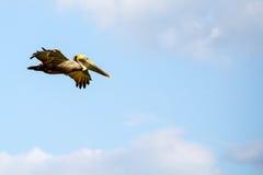 Pelicano marrom de voo Imagens de Stock Royalty Free