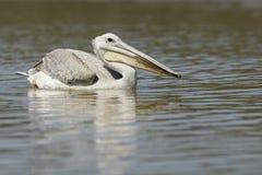 Pelicano na água África do Sul Fotos de Stock