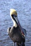 Pelicano na água imagens de stock