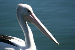 Pelicano na água Imagens de Stock Royalty Free