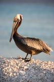 Pelicano na costa durante o por do sol Foto de Stock