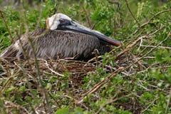 Pelicano na grama Imagens de Stock Royalty Free