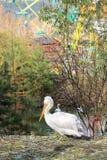Pelicano na grama imagem de stock royalty free