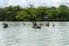 Pelicano na pedra Fotos de Stock