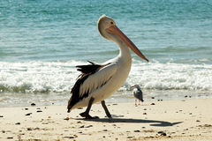 Pelicano na praia Fotos de Stock