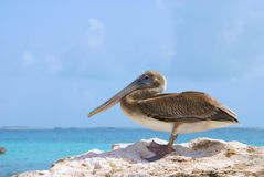 Pelicano na rocha Fotos de Stock Royalty Free