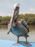 Pelicano no barco Imagens de Stock Royalty Free