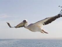 Pelicano no céu Imagens de Stock Royalty Free