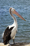 Pelicano no cais Foto de Stock