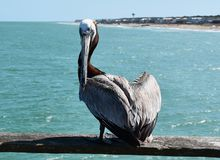 Pelicano no cais da pesca imagens de stock royalty free