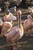Pelicano no jardim zoológico Imagem de Stock