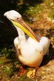 Pelicano no jardim zoológico de Praga Imagem de Stock Royalty Free